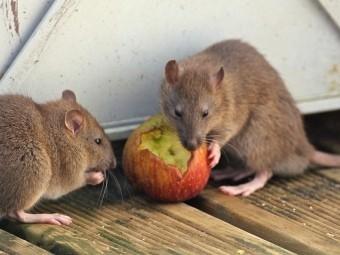 дезинфекция от крыс