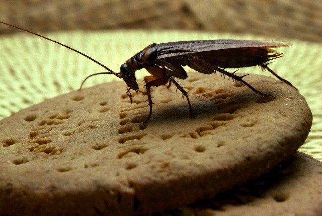 17 Jan 2006 --- American Cockroach (Periplaneta americana) on biscuit --- Image by © Stephen Dalton/Minden Pictures/Corbis