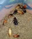 Чем травить тараканов, если дома есть дети