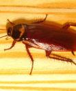 Как истребить тараканов дома с гарантией