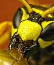 Первая помощь при укусе пчелы: что можно и чего нельзя делать