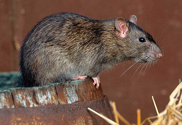 Самостоятельное истребление крыс