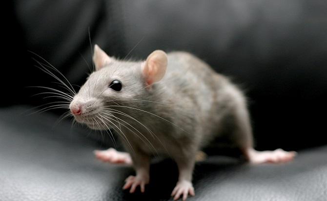 Уничтожение мышей в Москве и Московской области