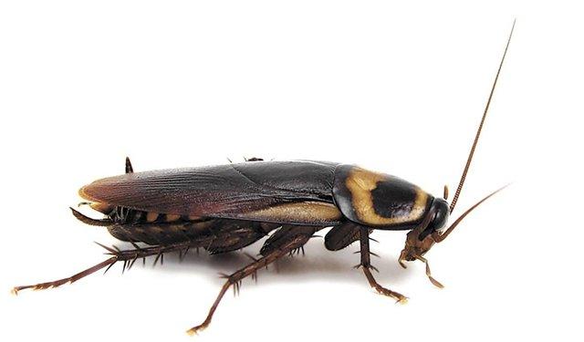 Устранение тараканов в домашних условиях МСК