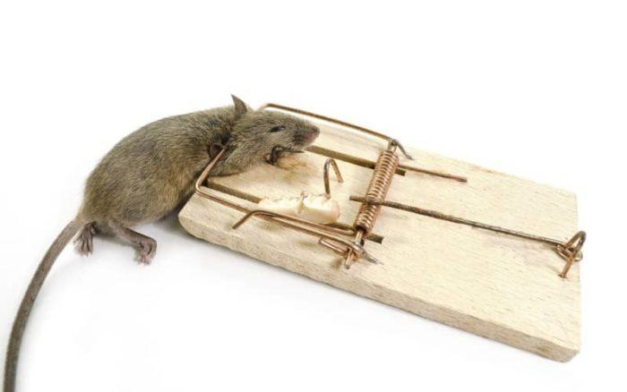 Самостоятельное уничтожение мышей дома