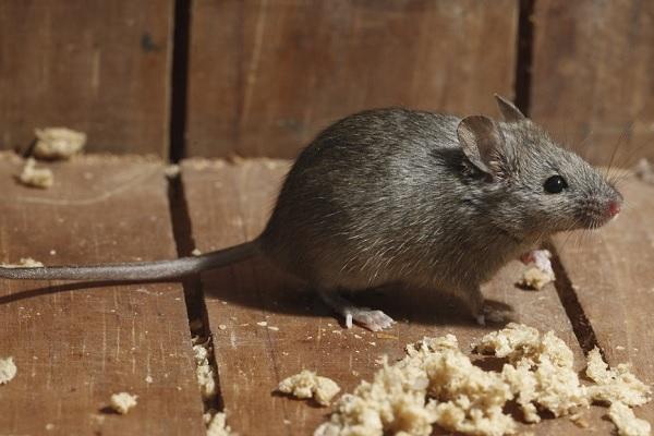Истребление мышей МСК