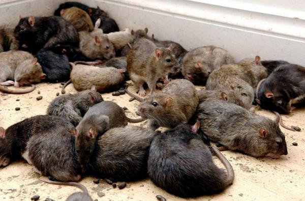 В чем опасность крыс и мышей