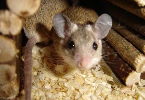 Уничтожение мышей в Москве и МО