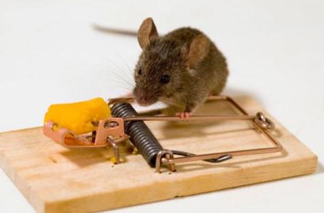 Фото домашней мыши