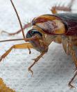 Методы уничтожения тараканов