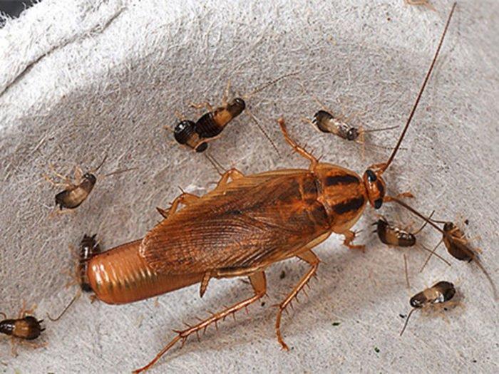 Тараканы: опасное соседство