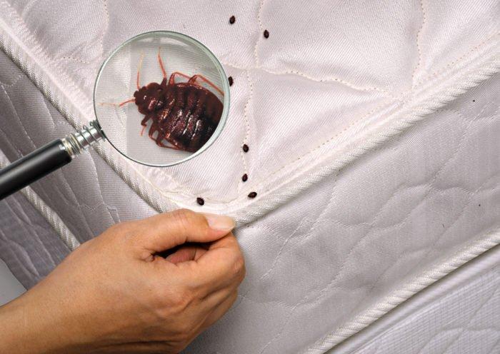 Как выглядят диванные клопы и их личинки
