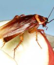Чем опасны тараканы?