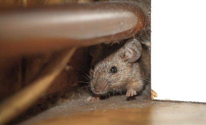 Основные методы борьбы с крысами в частном доме
