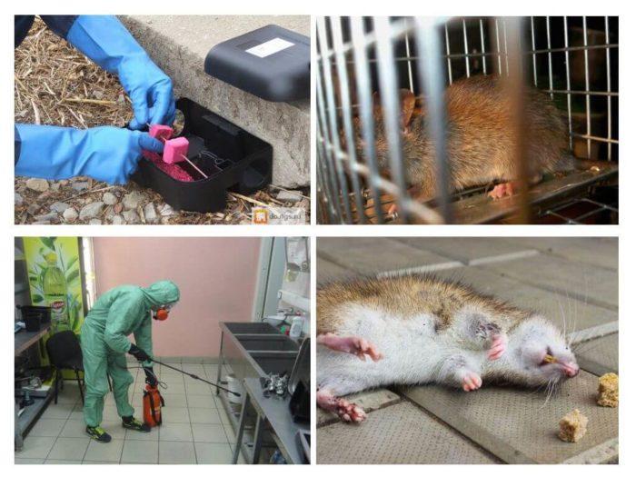 К кому обратиться для уничтожения крыс