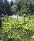 Борщевик Сосновского. Чем опасно растение и как его удалить