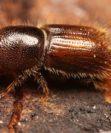 Как обнаружить жука-короеда